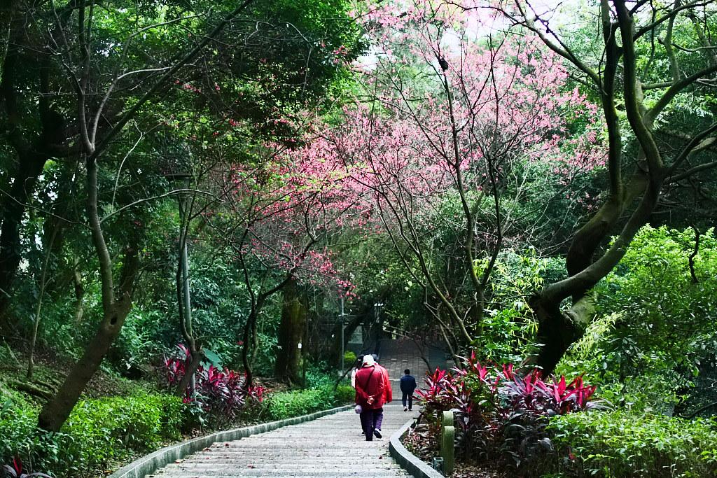 桃園虎頭山 ~櫻花 ~梅花