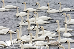 Trumpeter Swan Cygnus buccinator (Stan Tekiela's Nature Smart Wildlife Images) Tags: usa bird water birds geese swan unitedstatesofamerica feather ducks diving aves waterfowl avian aythya stockimages anatidae dabbling trumpeterswancygnusbuccinator stantekiela naturesmartwildlifewordsandimages