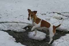Jack Russell in snow / winter