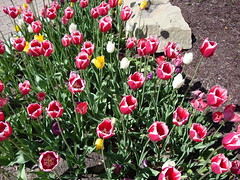Holland MI Tulip photo's by Jeffrey Hutchinson (Visit Holland) Tags: flowers spring tulips tulip justbe readyforspring visitholland