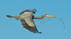 GBH w/Twig (Gitart) Tags: blue sky brown white building heron nature yellow grey wings nest flight twig greatblueheron gbh