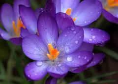 2011 crocus (saxonfenken) Tags: crocus mauve purple orange macro flower garden single thumbsup pregamewinner friendlychallenge herowinner remindsyouofspring gamewinner superherochallengesawarded bigmomma storybookwinner challengewinner thechallengefactory agcgwinner 15challenges 8077crocus 8077 challengeyouwinner
