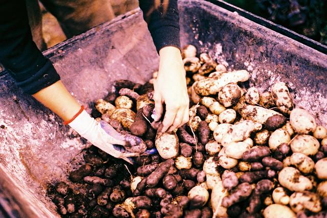 Mauri Potatoes