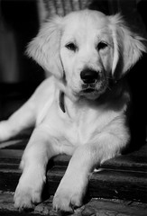 Maxx 10 weeks old (Guido Havelaar) Tags: bw dog chien cute dogs cane goldenretriever puppy hound perro hund pup cao grcn caneimmagini fotosdoco fotosdelperro