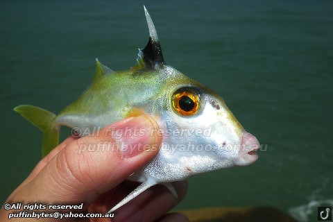 Short-nosed Tripodfish - Triacanthus biaculeatus