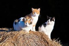 3 cats (Juan Antonio Cap) Tags: animal cat canon kat feline chat bokeh gato felino katze mace  gatto  kot gat koka kedi kissa kttur maka kucing pusa  mo moix    minino     pisic    canoneos5dmarkii