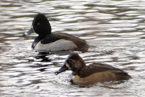 ringnecked pair 3