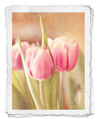 ~Vintage Tulips II~ (astanse(Angela Stansell)) Tags: pink light france macro 50mm tulips natural au strasbourg textures dreams handheld february angela chocolat mousse chasing 2011 twentyseventh 365project stansell astanse 365the2011edition
