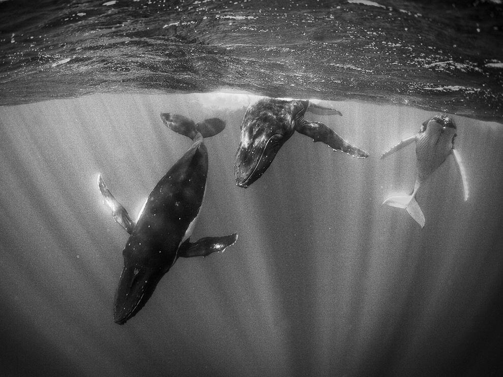 humpback-whales-macdonald_3691_990x742