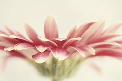 Pink splashing petals (dhmig) Tags: pink flower macro nature petals nikon sweet bokeh gerbera highkey softcolours nikond7000 dhmig dhmigphotography