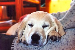 A save place (Guido Havelaar) Tags: dog chien cute dogs cane goldenretriever puppy hound retriever perro hund pup cao grcn caneimmagini fotosdoco fotosdelperro