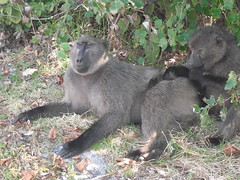 Getting up close ... (Sandalwood19) Tags: baboons baboonmatters