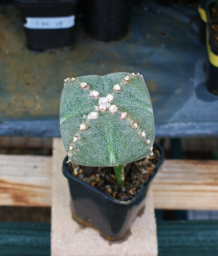 Astrophytum Cultivars  5490001627_22110d4105_b
