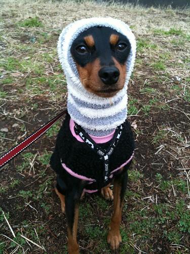 散歩なう。ここ数日の寒さに負けてほっかむり復活。