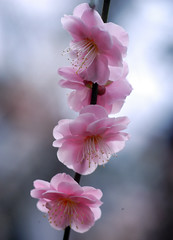 Weeping Japanese Apricot (love_child_kyoto) Tags: flower macro nature march spring nikon kyoto blossom plum  february  1001nights  botanicalgarden     japaneseapricot nishijin   blom pinkblossoms plumflowers   kitanotenmangushrine          masterphotos sugawaramichizane colorphotoaward   theunforgettablepictures nikonflickraward  flickraward  flickraward5 itsallaboutflowers