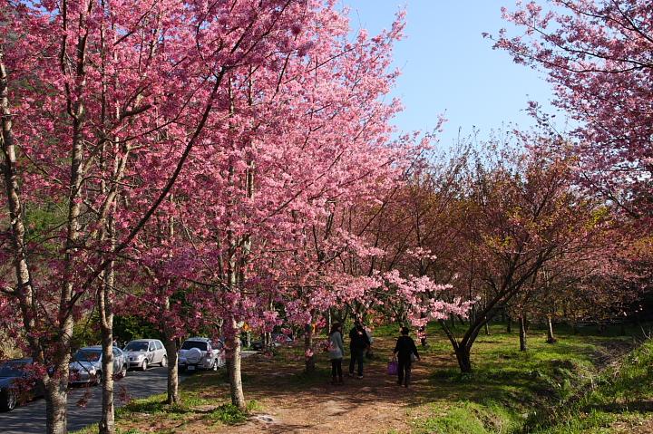 武陵農場櫻花065