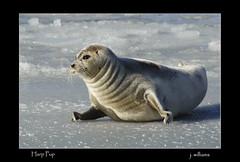 Harp Pup (Tomcod) Tags: ocean sea snow cold ice nature sunshine animal newfoundland fur mammal eyes sweet wildlife front whiskers seal holyrood harp flippers beater floe icefloe bedlamer phocagroenlanica