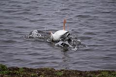 Crash landing Goose (jdoakey) Tags: uk greatbritain england bird water animal fly flying funny waves britain sony flock norfolk flight beak calm norwich british alpha dslr fen animalplanet calmwater strumpshaw a55 strumpshawfen sonya55