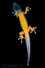 Lygodactylus williamsi (Thor Hakonsen) Tags: meg reptilia saurus squamata gekkonidae lygodactylus macrofoted nikond700 nikonafs60mmf28micro electricbluedaygecko williamsdaygecko lygodactyluswilliamis