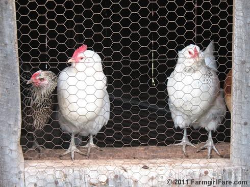 chickens 8