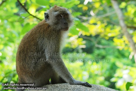 Long-tailed Macaque - Macaca fascicularis