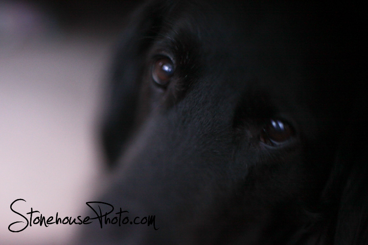 Flat coat free - lensed