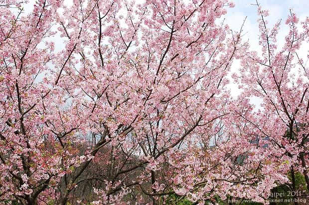 2011陽明山花季13.jpg