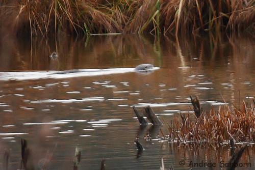 Otters in the Beaver Bog   -12.jpg