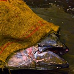 The dead don't see (wandervox) Tags: fish japan dead tokyo market covered tsukiji sack
