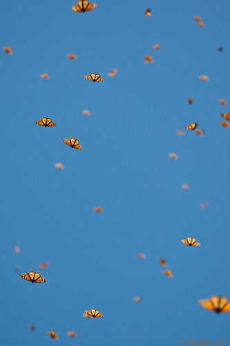 Overwintering Monarchs