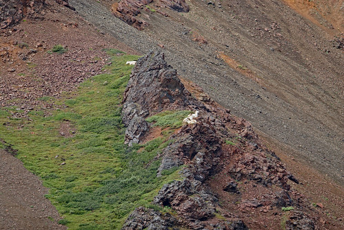 Dall sheep-1.jpg