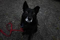 I will eat your soul (Strandvikfilm) Tags: dog black face look golden funny sara sad hund retriver understanding asfalt bnd