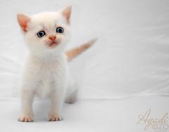 Agadi - (AZO Monifi) Tags: old orange pet cute animal cat hair point gold necklace kitten five kitty short planet british weeks قط الشعر قطة ابيض بريطانية قصيرة بوينت agadi اورانج خمسة اسابيع