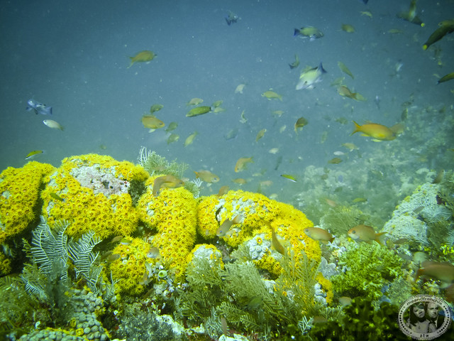 Yellow Coral
