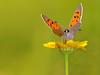 "perched in flower (aziouezmazouz) Tags: macro cute focus colours bokeh bellissima vibrantcolours greatphotographers bokehlicious ""flickraward"" ""physis artistoftheyearlevel5"