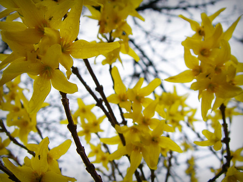 Day 293 - Yellow Blossoms