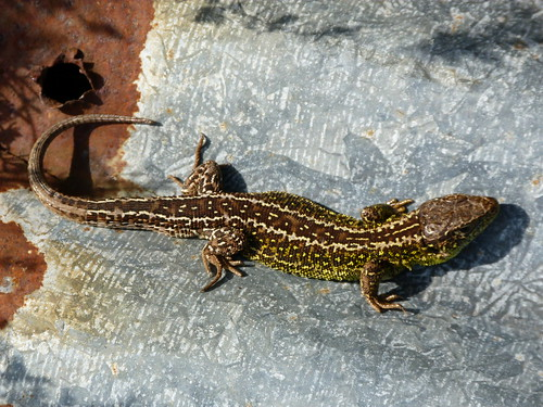 Sand Lizard (Lacerta agilis) by Peter Orchard