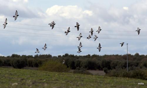 Un puñao de palomas sobre el olivar