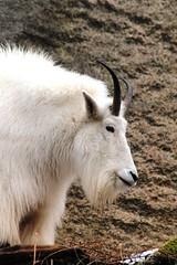 Rocky Mountain Goat (Oreamnos americanus) (macca_1985) Tags: zoo sweden sverige chrismclean nordensark canon70300f456 nordens canoneos550d