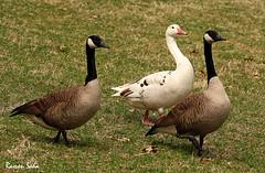 Canada Geese; Three is Company (Ramen Saha) Tags: canadagoose brantacanadensis canadageese albinocanadagoose ramensaha