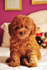 "do i look like a ""monster"" to you? my mom was going to call me that,but then she calls me Pinocchio hehe.. (girl enchanted) Tags: bear red cute puppy toy teddy bears adorable poodle aww pinocchio steiff toypoodle poodlepuppy redpoodle"
