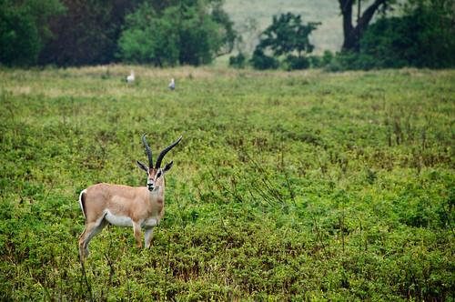 Lone Gazelle
