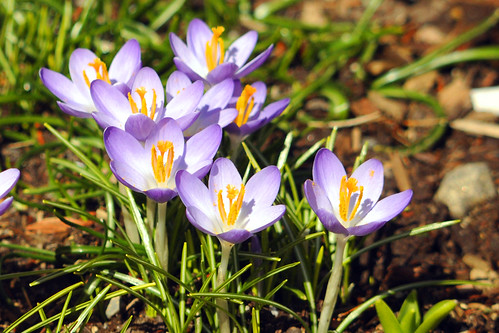 Crocus for Karen