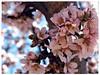 Dulce flor de almendro (Hesteruelas) Tags: flores flower primavera fleur spring landwirtschaft flor blumen pistil fiore arbre printemps baum teruel biene stempel frühling almondblossom loreak agricultura aragón mandelblüte estercuel pistils pistilos zuhaitz nekazaritza pistillo flordealmendro almendrero fioridimandorlo udaberrian flordametller fincalaloma hesteruelas lafleurdamandier amendoeirasenflor pistilosdeárbores almendralore