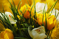 Mostly yellow (Arjan Gerritsen) Tags: white flower yellow easter photography photo foto fotografie dof picture geel wit pasen marcro bloem canonef100mmmacrousm afbeelding eos400d