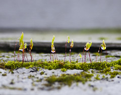 Stand Tall (andrewallenmoore) Tags: macro green nature water rain fence delete5 delete2 moss little delete6 delete7 small save3 delete3 save7 save8 delete save save2 drop neighborhood save9 save4 dew raindrops save5 save10 save6 mosses 6625 savedbythehotboxuncensoredgroup