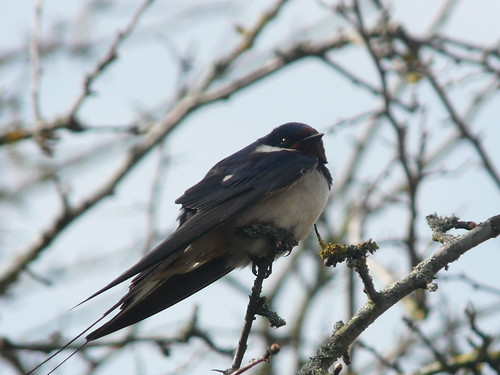 Swallow (Hirundo rustica) by Peter Orchard