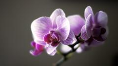 DSC00312 (For The Nguyen!) Tags: flowers 50mm peace lily purple bokeh sony wide alpha f18 dslr a33l