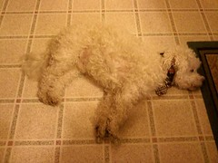 Sacked out with a full tummy! (Peachhead (5,000,000 views!)) Tags: dog chien pet white cane hond perro hund poodle spoiled benjy miniaturepoodle