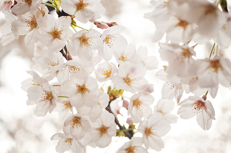 Japanese cherry blossoms (sakura)